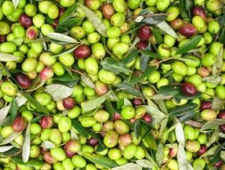 L'olio nuovo : venite in fattoria a degustare